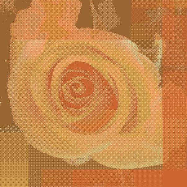 yellow-rose